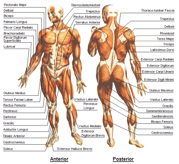 physio ex 8 0 exercise 2 skeletal muscle physiology worksheet